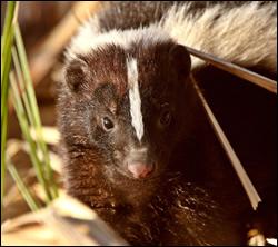 skunk control Highland Village
